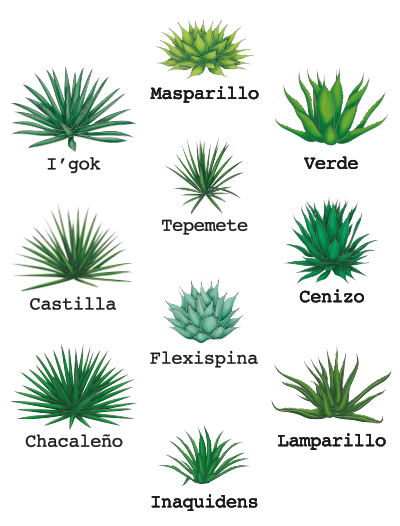 http://burritofiestero.com/wp-content/uploads/2020/05/BF_Ancestral_Agaves.png
